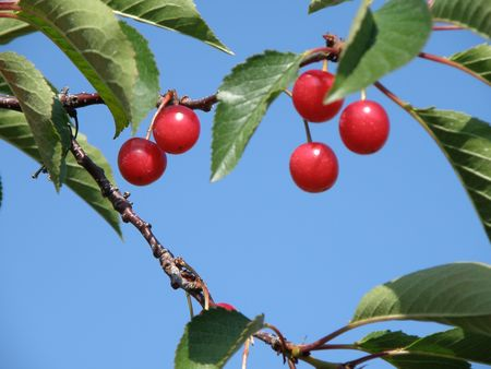 Cherry tree bearing ripe fruit. Stock Photo - 5215233