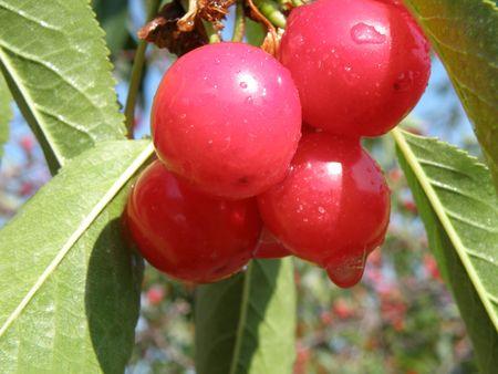 shadowed: Cherry tree bearing ripe fruit.