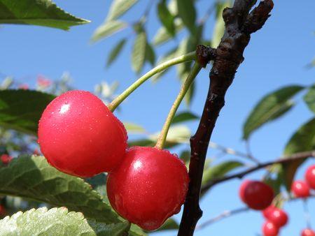 tree shadow: Cherry tree bearing ripe fruit.