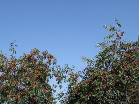 Cherry tree bearing ripe fruit. Stock Photo - 5215252
