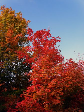Bright leaves on a clear sunny day. Colorful autumn changes at their peak. Stock Photo - 5710764