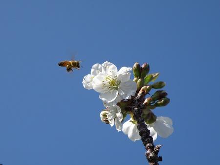 Honey bee hovers above a branch of cherry blossoms in front of a bright blue sky. Stock Photo