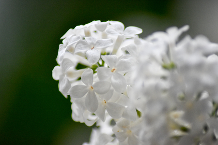 Macro image of white lilac flowers in full bloom.