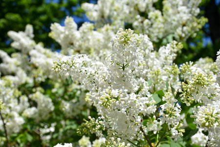 Partially blooming lilac flowers