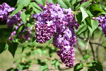 Teilweise blühende lila Blüten