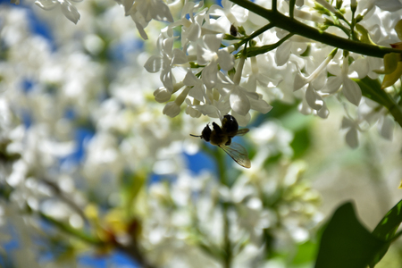 Partially blooming white lilacs with a bee hanging