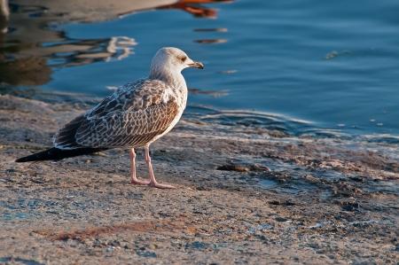 Seagull standing sea coast  photo