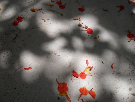 Flamboyant Petals fallen to the ground Stock Photo