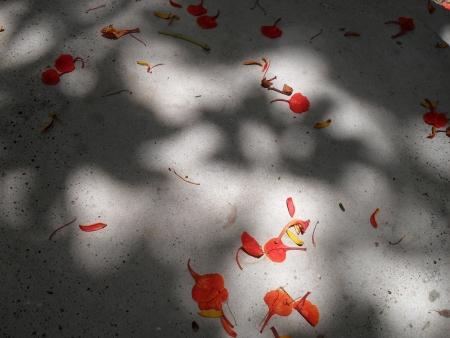 Flamboyant Petals fallen to the ground Stock Photo - 21217454