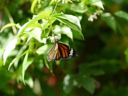Lovely Butterfly on Murraya paniculate Jack Stock Photo - 21488107
