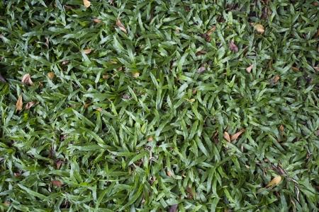 gramineas: Hierbas textura Foto de archivo