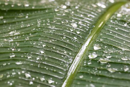 Banana leaf swinging in rainy day with water dropping down to the surface Banco de Imagens