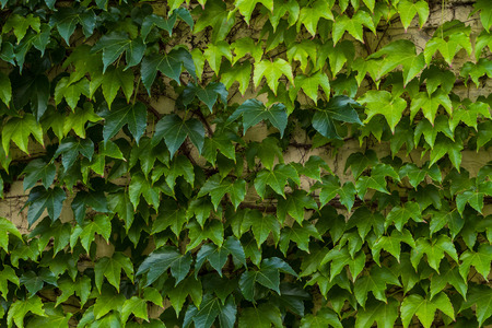 tree crown: Plant green background. Summer photo of green tree. Tree leaves background. Natural tree crown wallpaper. Lush foliage of the trees.