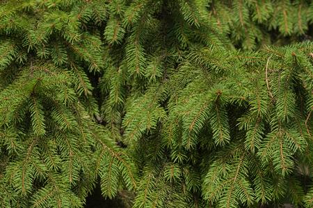 desktop wallpaper: The spruce branches close-up. Spruce needle. Conifer tree. Nature desktop wallpaper