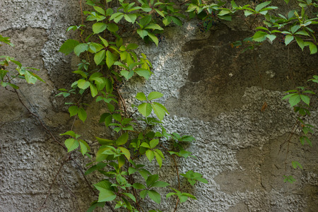 twining: twine plant on concrete wall. urban nature wallpaper