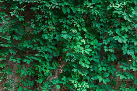 twined: twined wild grapes wall. nature wallpaper. green lives