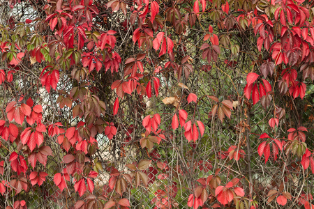 red autumn leaves on a rabitz