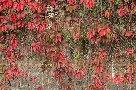 rabitz: red autumn leaves on a rabitz