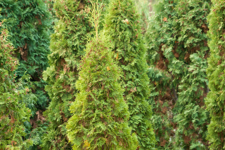 coniferous: coniferous trees