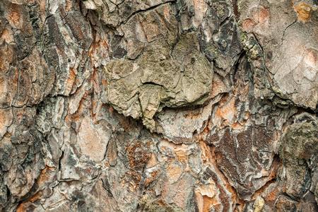 crannied: texture of pine bark