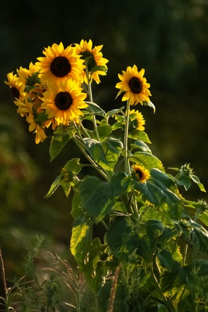 Sunflowers in dramatic sunset backlight. Sunflower field on sunset Stock Photo