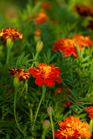 Mexican marigolds. Flor de Muerto - Flowers of Dead.