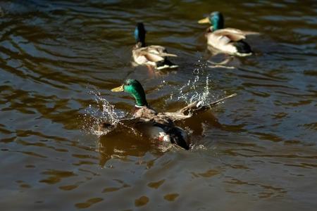 Three drake ducks swimming in lake water.