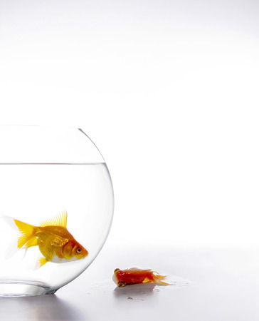 Fish in fishbowl with a dead fish outside of the fishbowl Stock Photo
