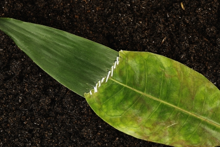 Two different leaves sewn together Stock Photo