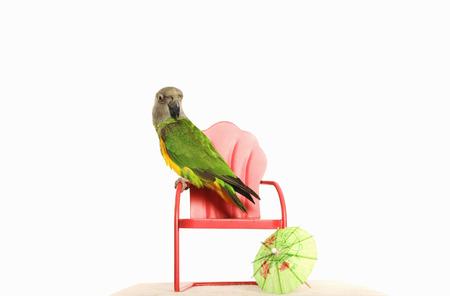 mini umbrella: Parrot standing on a mini chair Stock Photo
