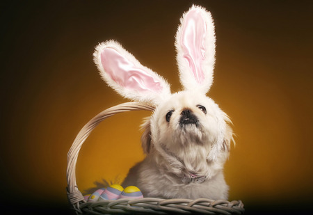 bunny ears: Perro con orejas de conejo sentado dentro de una cesta de huevos de pascua