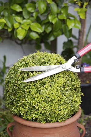 hedge clippers: Trimming a plant with hedge clippers