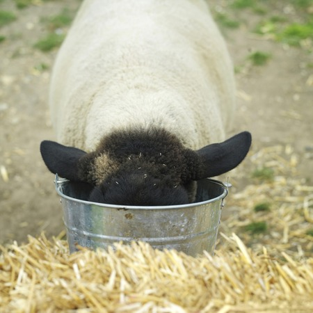 Sheep drinking water from a bucket
