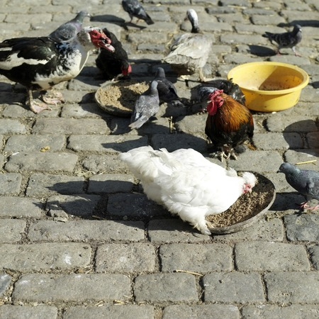 Chickens feeding with ducks and pigeon around