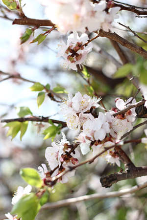 blossoming: cherry blossoming
