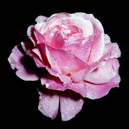 closeup of rose flower with dew droplets