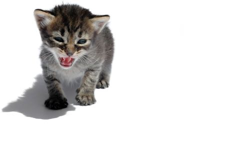 roaring cat with long shadow on white background Stock Photo