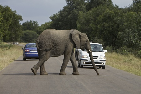 kruger national park: African Elephant Stock Photo
