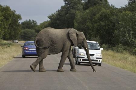 African Elephant Standard-Bild