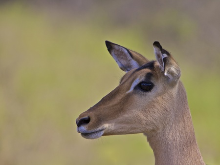 Impala - close up mammal in Kruger National Park in South Africa photo