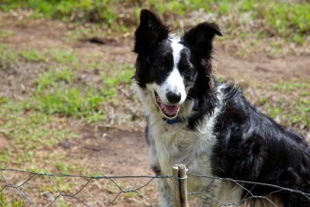 sheep dog: Boarder collie waiting at a fence Stock Photo