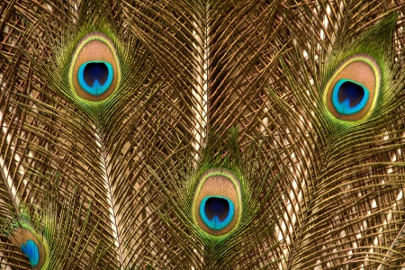 mating colors: Close up View of Peacock Feathers in Gold Close up