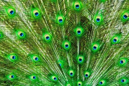 plumas de pavo real: Pavo real, plumas de la cola