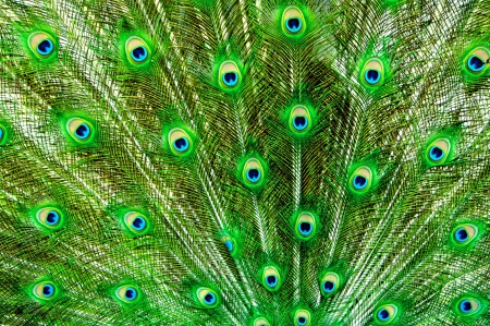 Peacock, Tail Feathers