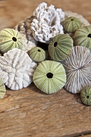 Sea urchins and corral, wooden surface photo