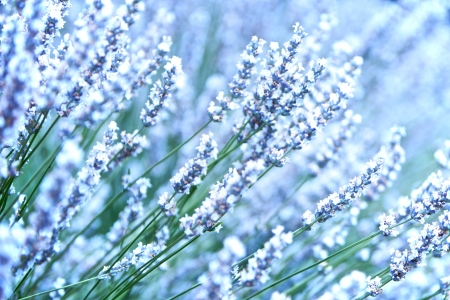 White Lavender Flowers, close up view  photo