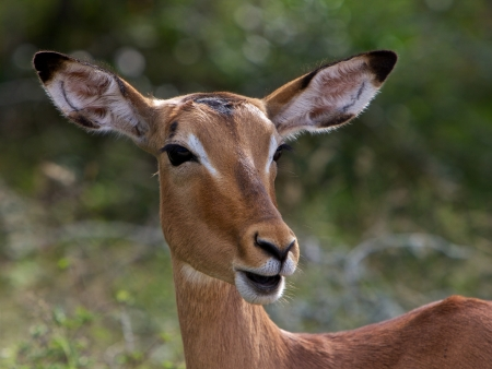 Impala in South Africa photo