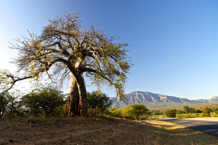 largest tree: Baobab tree in South Africa Stock Photo