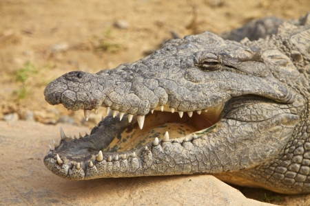 African crocodile, close up view photo