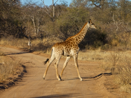 Giraffe wandelen in het Kruger National Park, Zuid-Afrika